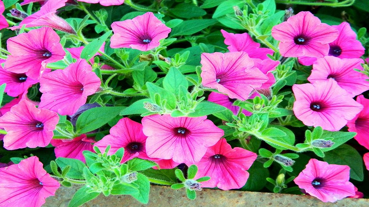 Fiori Che Amano Il Sole fiori primaverili sui balconi? ecco alcuni facili da far