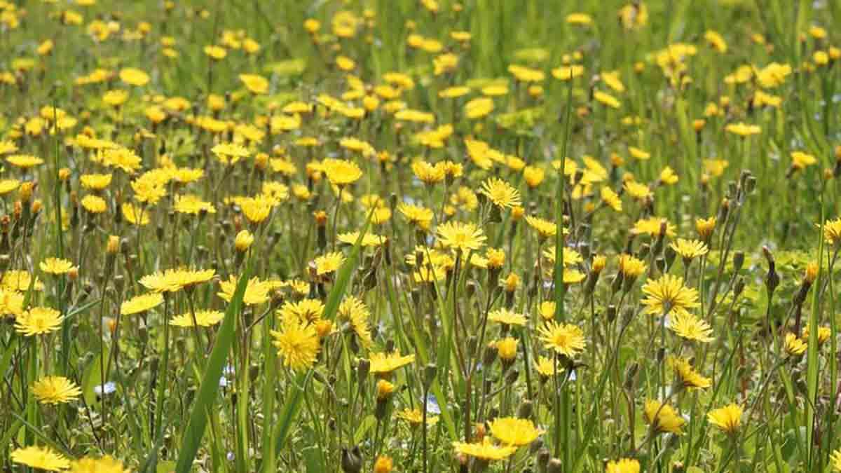 Il Dente Di Leone 15 Importanti Motivi Per Mangiare Il Fiore E La Radice Ambiente Bio
