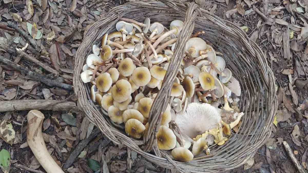 funghi freschi chiodini