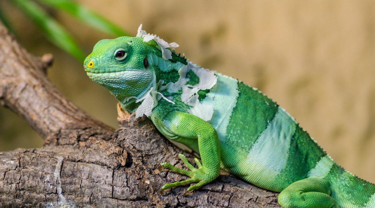 animali esotici iguana