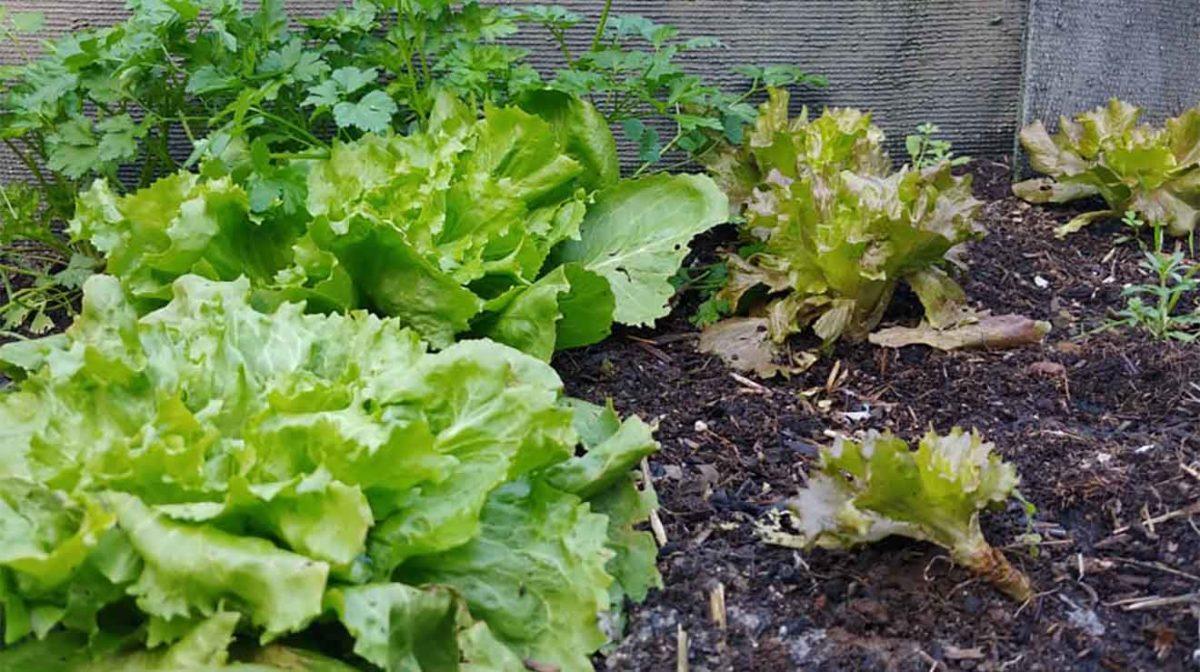 lattuga orto di febbraio