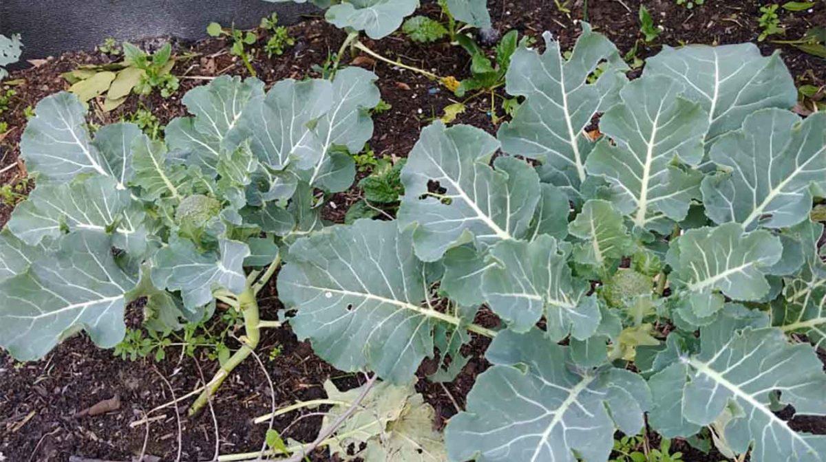broccolo in orto a febbraio 2021