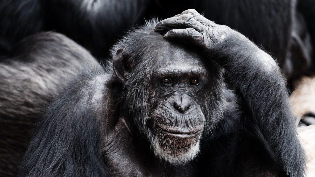 vaccinazione Covid: Bonobo