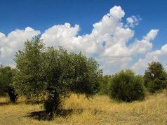 Il batterio Xylella infesta gli ulivi salentini