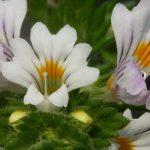 Eufrasia: proprietà e usi della pianta che protegge i nostri occhi