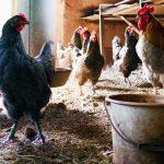 La pollina avicola (letame dei polli) diventa energia green: il progetto italiano