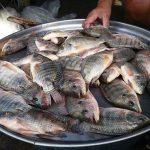 Tilapia: cosa si nasconde dietro al pesce più consumato al mondo