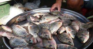 La tilapia, pesce controverso