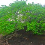 L'albero della morte, il più pericoloso al mondo