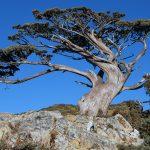 Trovato in Italia l'albero più vecchio d'Europa: si chiama Italus e ha 1230 anni
