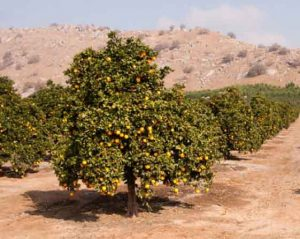 bergamotto proprietà piantagione