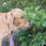 Scoperto nuovo talento dei cani: con l'olfatto individuano le malattie delle piante