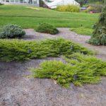 Ginepro comune: come coltivarlo e come sfruttarne tutte le proprietà