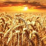 Il governo penalizza il grano duro biologico del Sud per favorire le importazioni dal Canada? La dura protesta dei coltivatori