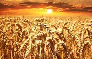 grano duro biologico