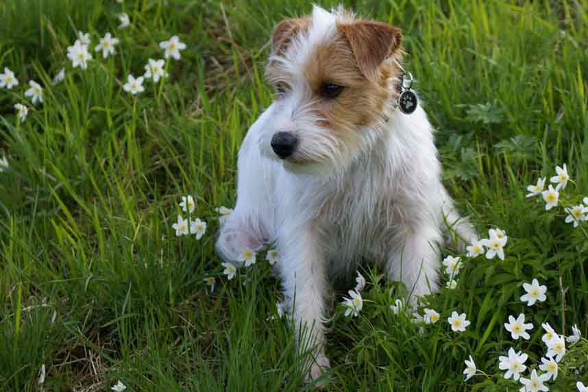 jack russell terrier cane cucciolo