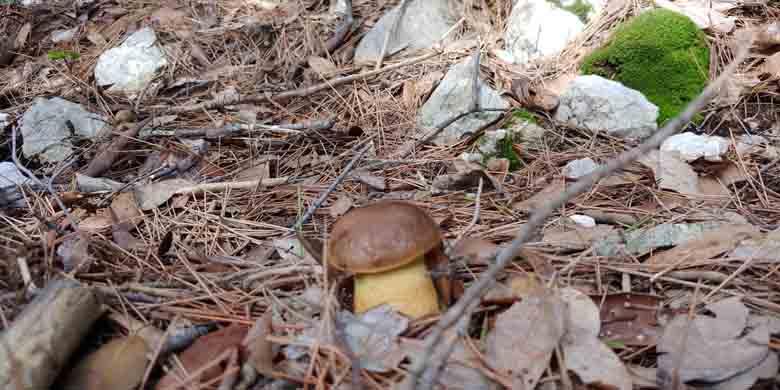 funghi commestibili Leccino