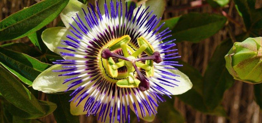 ansia rimedi naturali passiflora proprietà