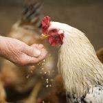 Nanoparticelle di argento nei polli, al posto degli antibiotici: dubbi per la salute