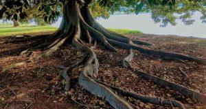 radici degli alberi