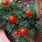 Tagete: coltivazione e proprietà del fiore che combatte la tristezza