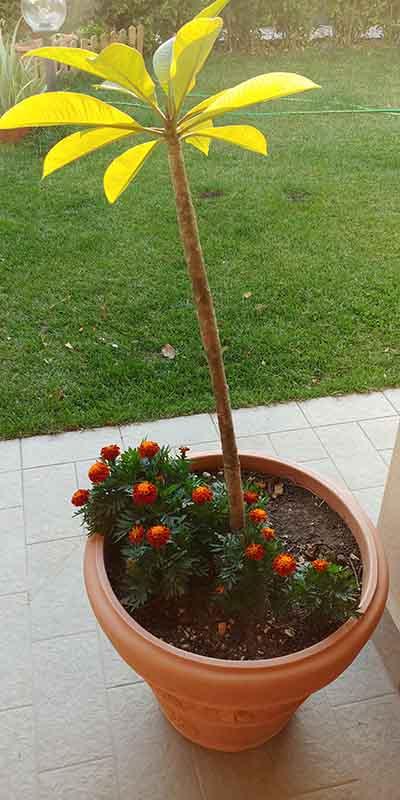 tagete fiori sinergia vaso pomelia