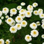 Il partenio la pianta miracolosa che fa sparire l'emicrania
