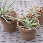Tillandsia, la pianta che depura naturalmente l'ambiente